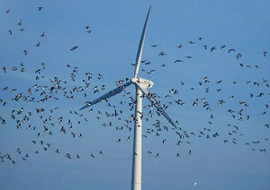 Birds flying near wind turbine